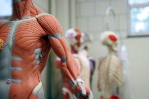 músculos - complexidade do seu sistema