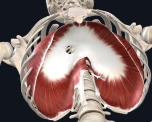 Figura 2. Visão inferior do diafragma.