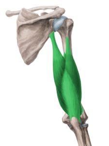 Tricípete Braquial - Fonte Ken Hub