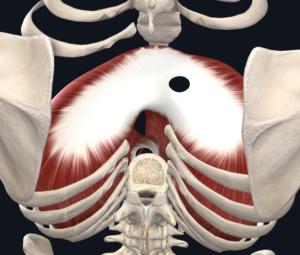 Figura 3. Visão posterosuperior do diafragma.