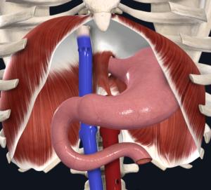 Figura 4. Visão anterior do diafragma – II.
